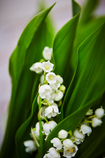 Lily Des Valley Stockfoto und mehr Bilder von Baumblüte