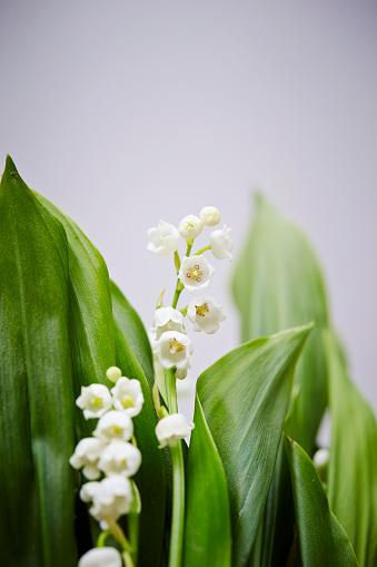 Liljekonvalj-foton och fler bilder på Blomkorg - Blomdel