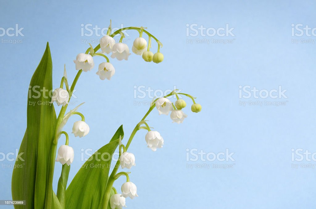 Lily of the Valley (Convallaria majalis) Shallow DOF royalty-free stock photo