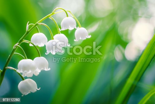Lily of the Valley with bokeh background at summer evening in Finland