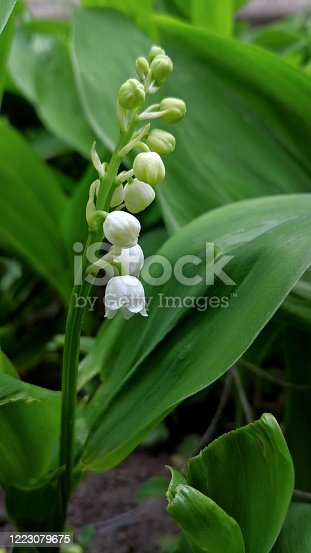 Lily of the valley (Convallaria majalis) with sweetly scented, pendent, bell-shaped white flowers in a Dutch garden. Amaryllis family Amaryllidaceae. Spring.