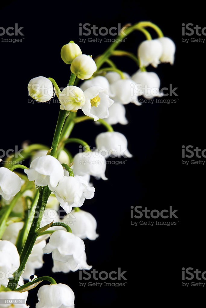 Lily of the valley's royalty-free stock photo