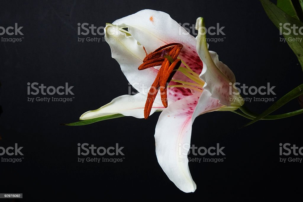 Lily on Black Background royalty-free stock photo