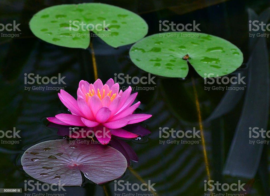 lily auf den Teich – Foto