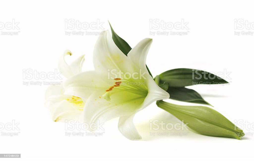 Lily on white background royalty-free stock photo