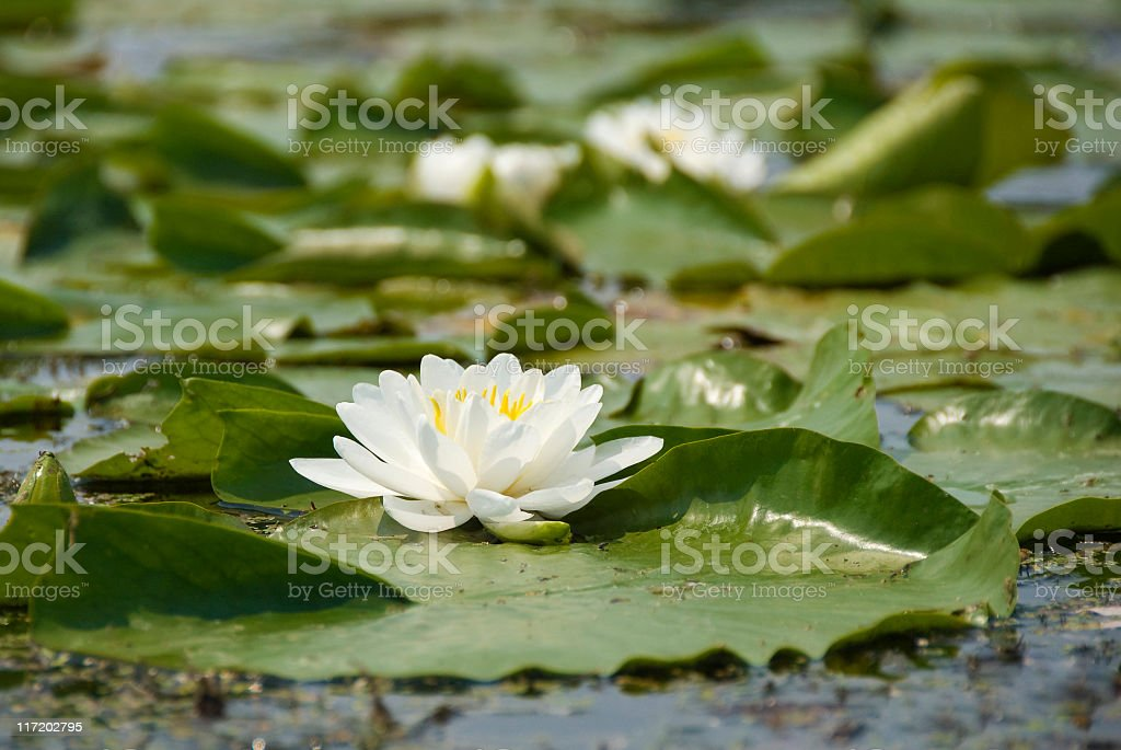 Lily Pad Bloom royalty-free stock photo