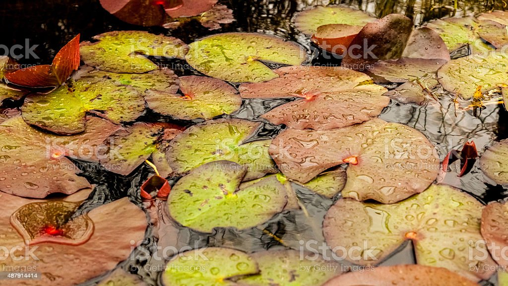 Lily Pad Colors stock photo
