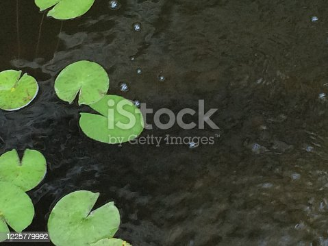 Lily pad floating on water pond green design element background