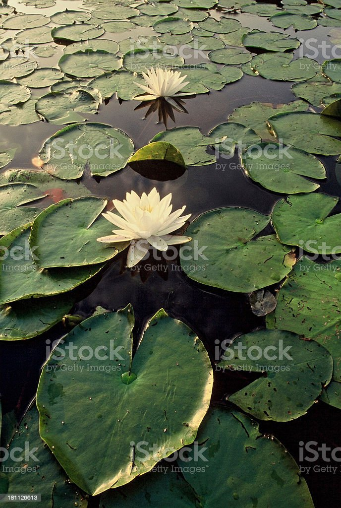 Lily Pad royalty-free stock photo