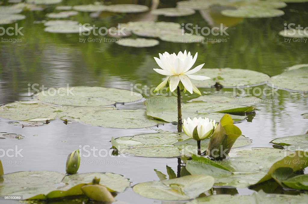Lily Pads and bloom. royalty-free stock photo