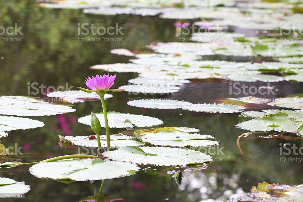Lily pads and lotus flower royalty-free stock photo