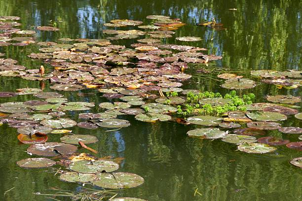 lily pads and reflections from monet's garden at giverny, france - impressionist painting stock photos and pictures