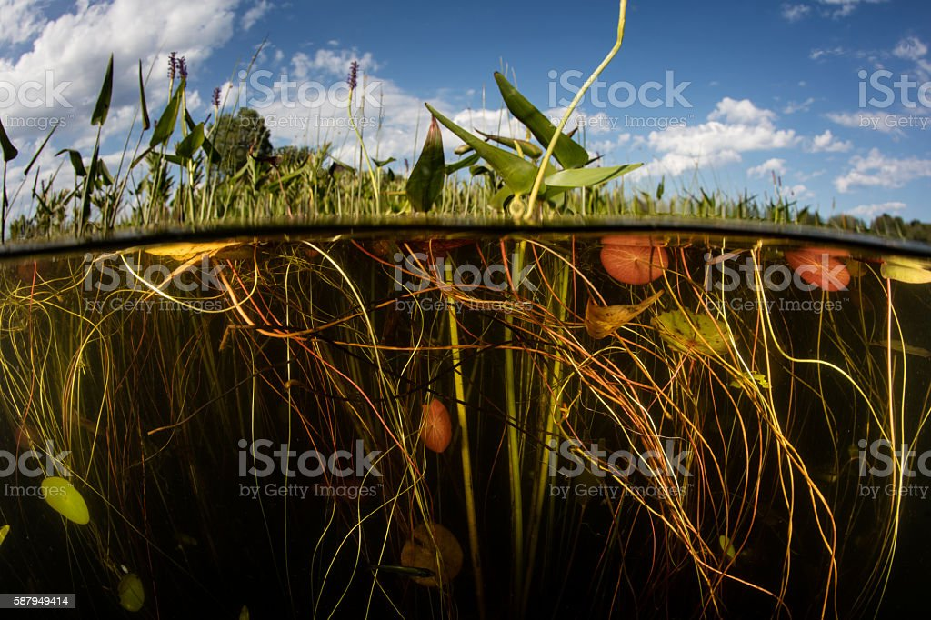 Lily Pads Growing on Edge of Lake stock photo