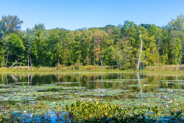 Lily pads in a pond in early fall in Longmeadow, Massachusetts stock photo