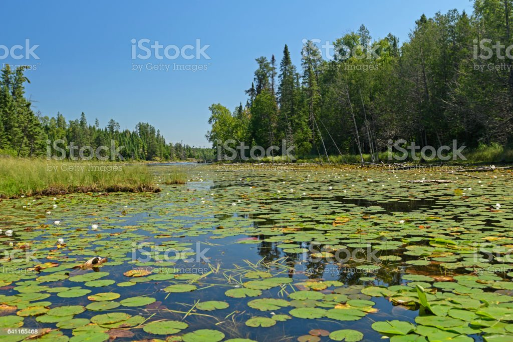 Lily Pads in the North Woods stock photo