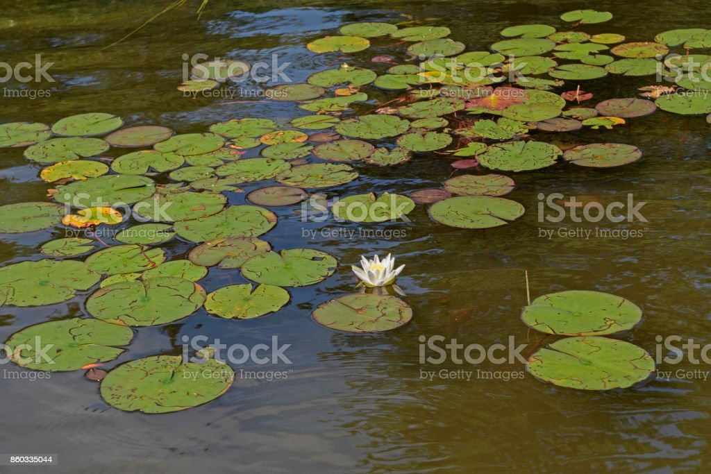 Lily Pads on a Missing Link Lake stock photo