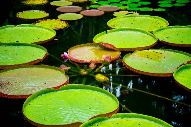 lily pads - teichfiguren stock-fotos und bilder