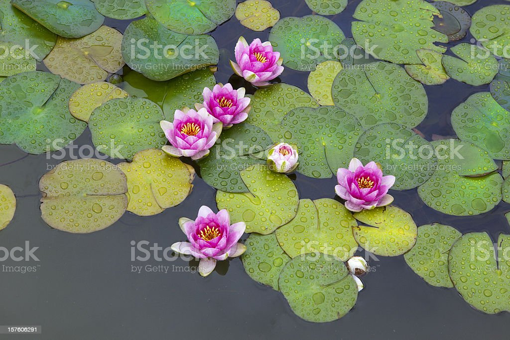Lily Pads royalty-free stock photo