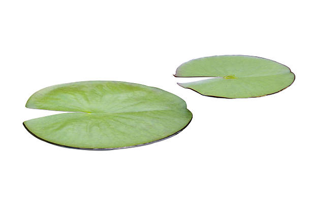 Lily pads Lily pads  on the surface of the water. water lily stock pictures, royalty-free photos & images