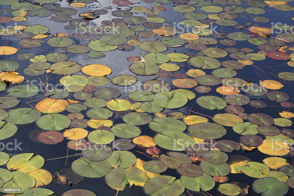 Lily Pads royalty free stockfoto