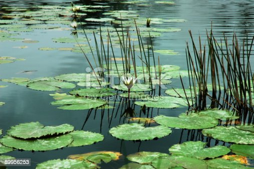 istock Lily Pads 89956253