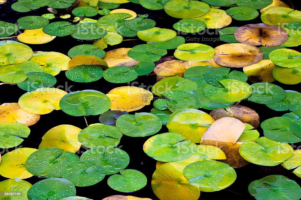 Lily Pads stock photo