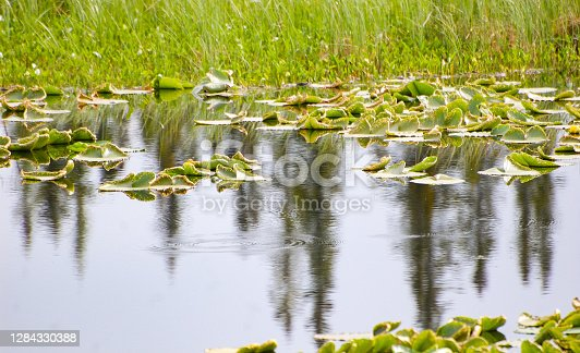 Lily pads growing on a pond.