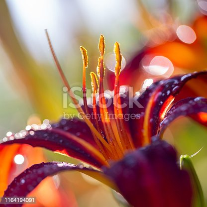 Close-up of a Lily