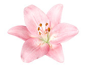 Pink flower on a white background.