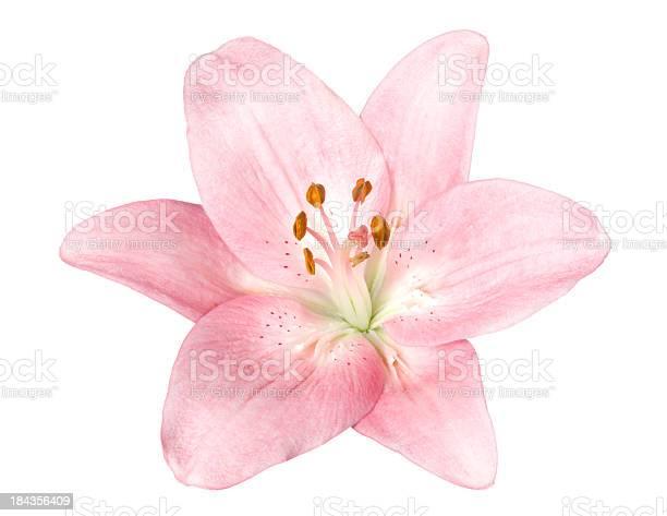 Lily picture id184356409?b=1&k=6&m=184356409&s=612x612&h=d1mezrj8umkxrxsnhwtnddt1dxls0l8f89re kcecm0=