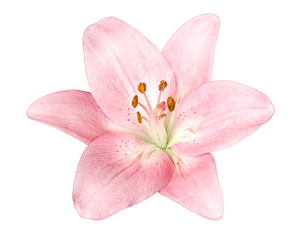 Lily. Pink flower on a white background. water lily stock pictures, royalty-free photos & images