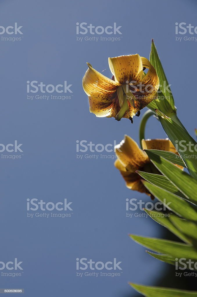 Lily (Lilium carniolicum) royalty-free stock photo