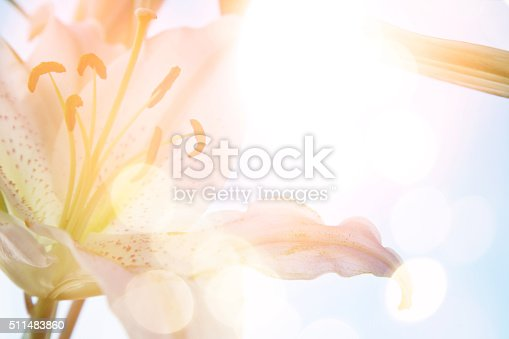 close up of lily blossoms with sunlight effect