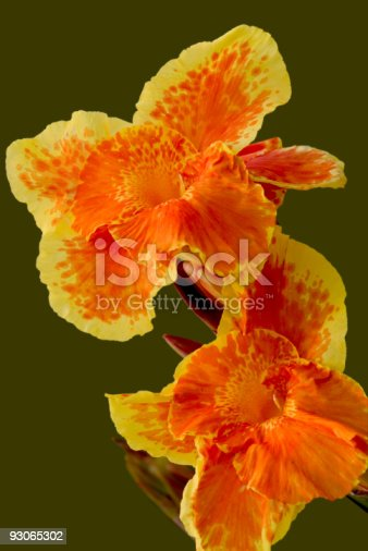 istock Lily 93065302