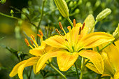 lilies in a garden, yellow lily, Flowerbed, Plant, Lily, White Color, Flower