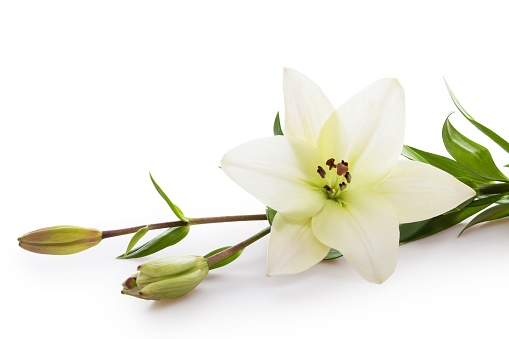 Easter Lilly isolated on white background