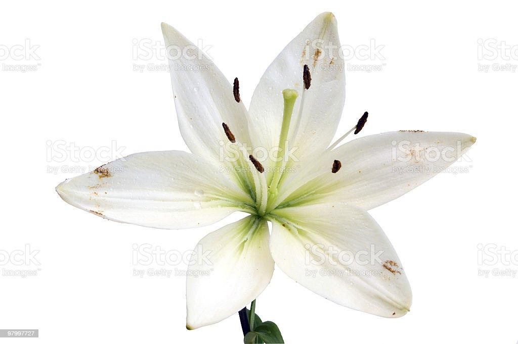 lily royalty free stockfoto