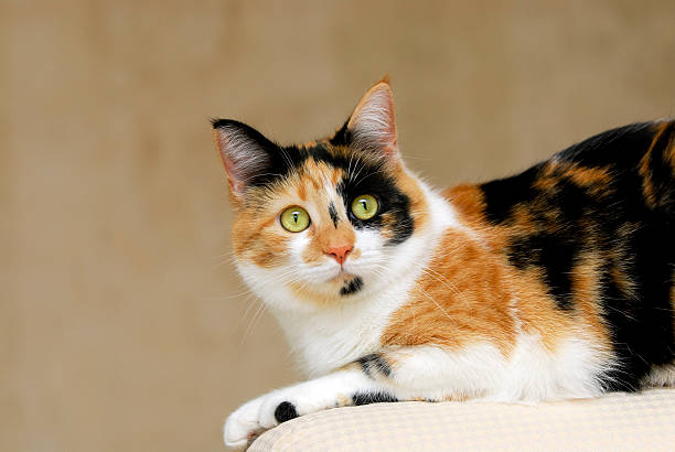 Lily the Calico Cat stock photo