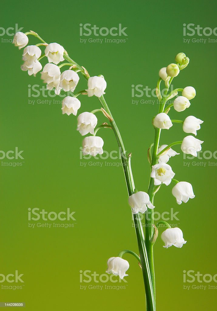 Lily twigs royalty-free stock photo