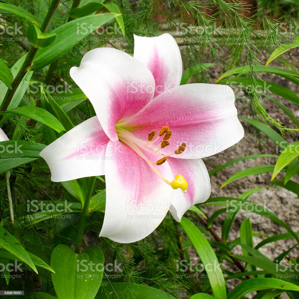 Lily varieties flowers stock photo