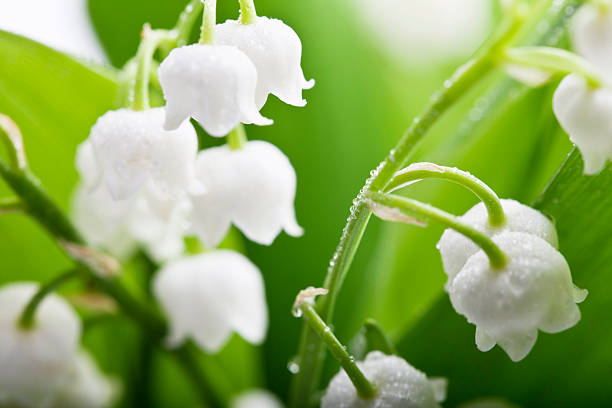 lily-of-the-valley and water drops stock photo