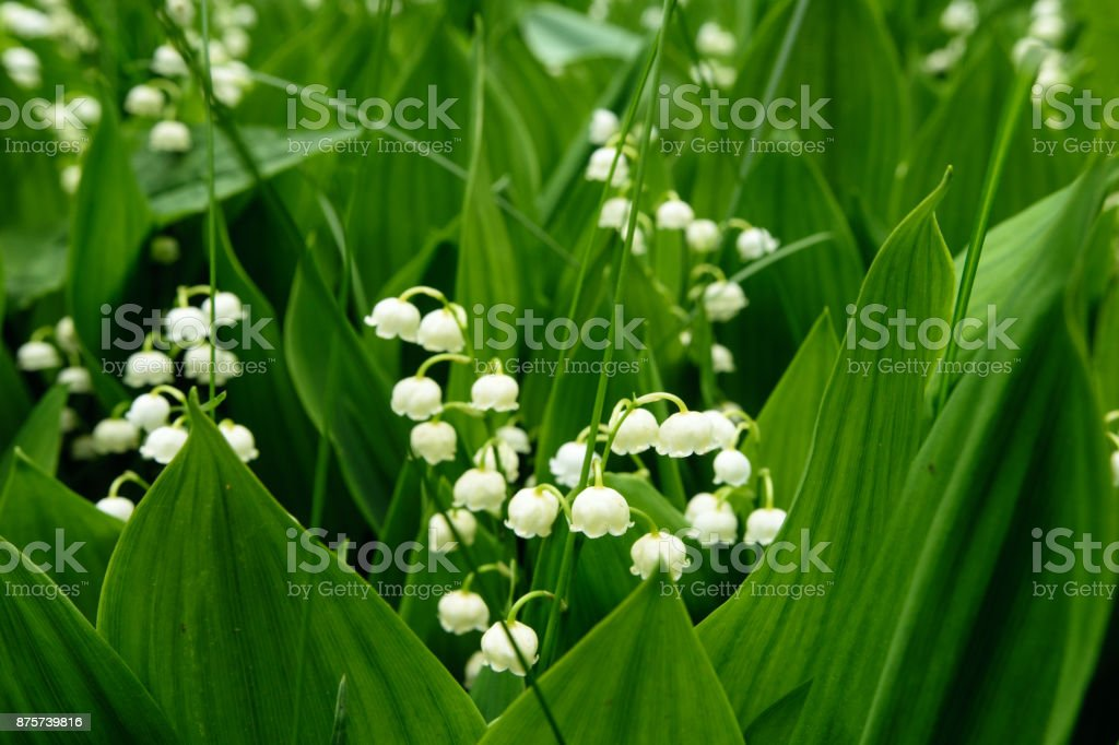 Lily-of-the-valley in Moscow park stock photo