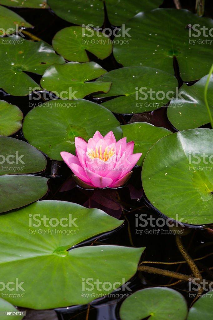 Lilypad royalty-free stock photo