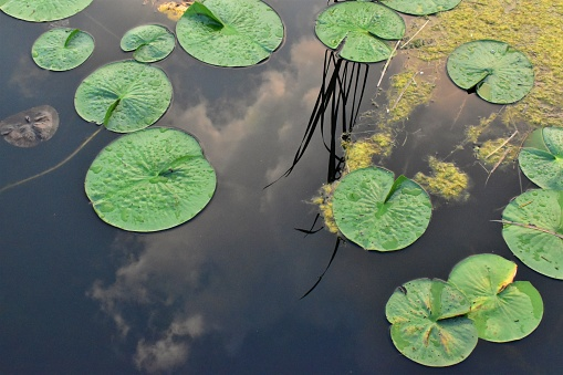 Lilypads and cloud reflections