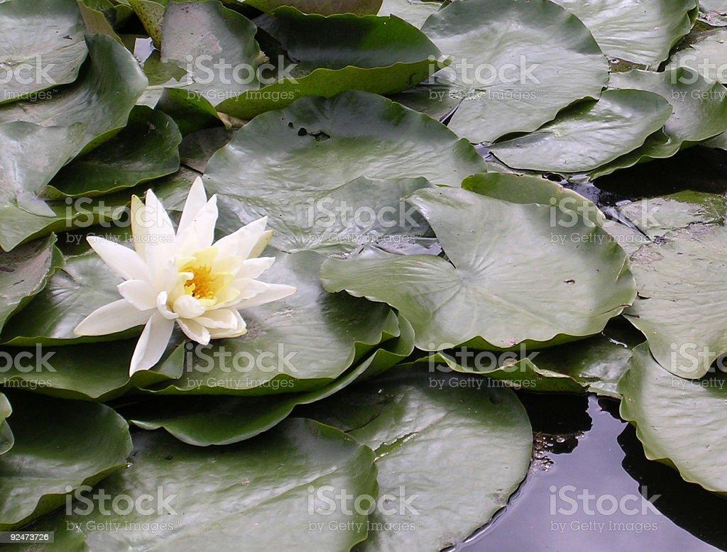lilypads royalty-free stock photo