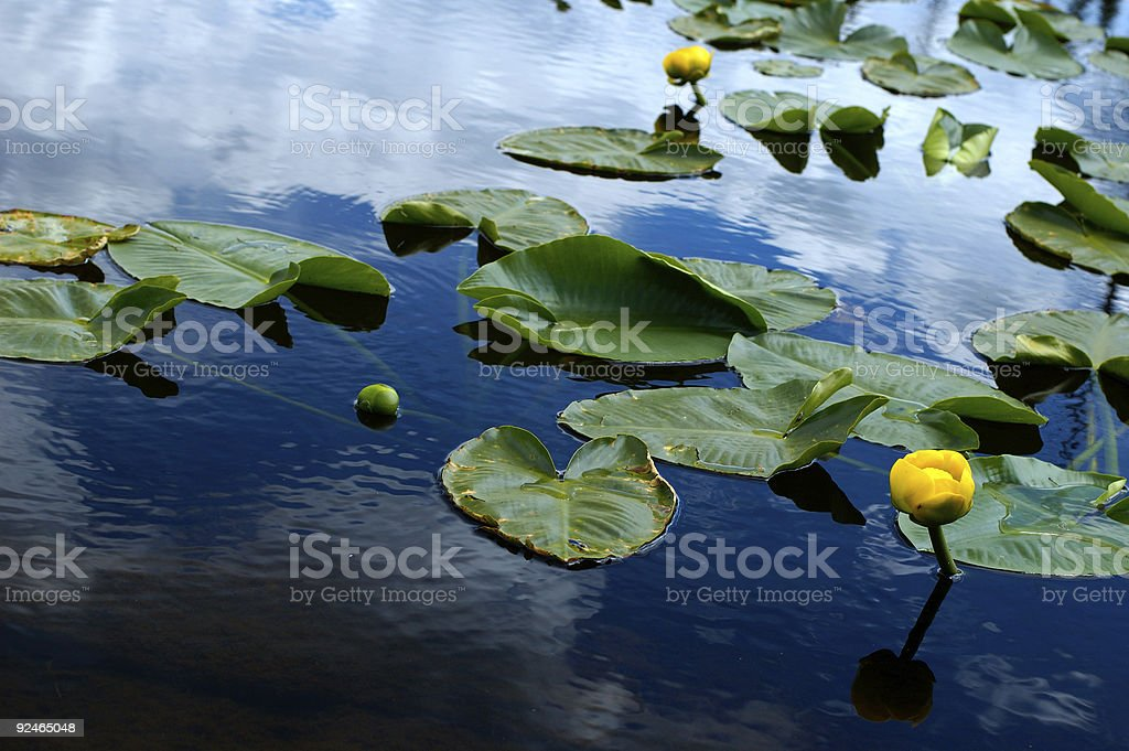 Lilys in the mountain lake royalty-free stock photo