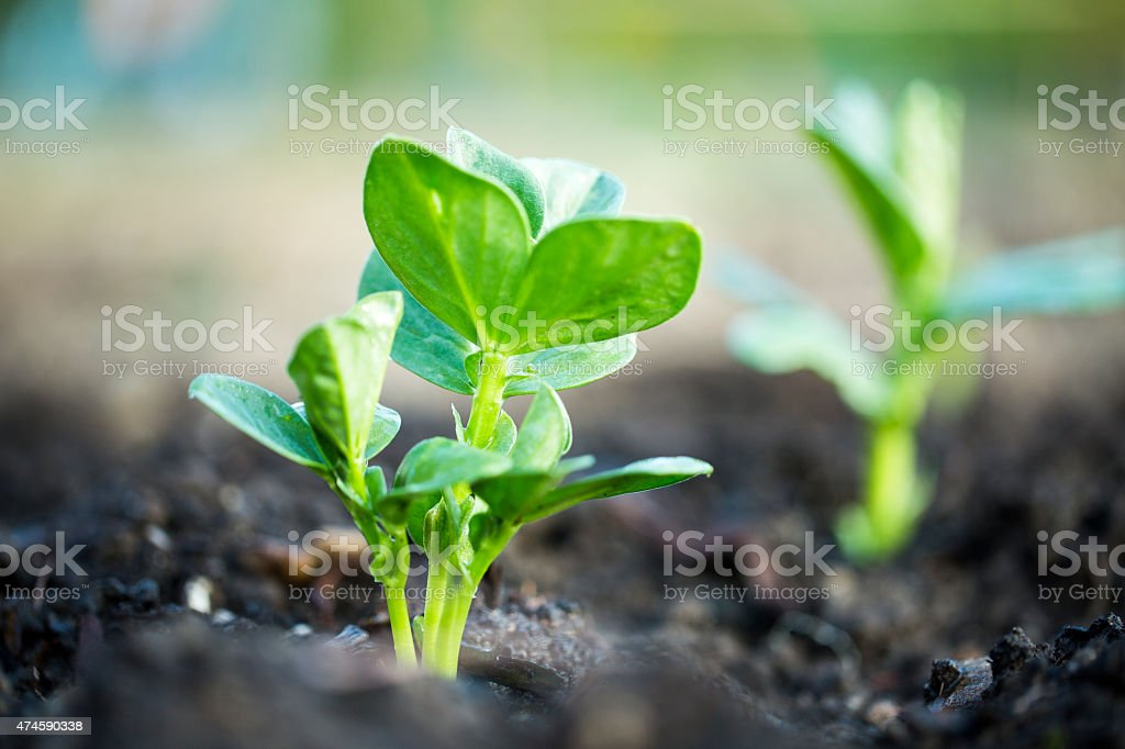 Lima bean plant stock photo
