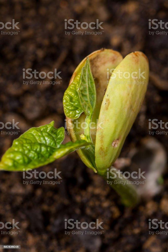 Lima Bean sprouting Lizenzfreies stock-foto