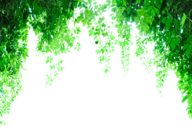Ð¡limbing plants hanging from arch. Backlight. White background stock photo