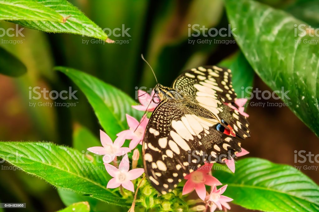 Lime Butterfly (Papilio demoleus) on Green Leaves stock photo